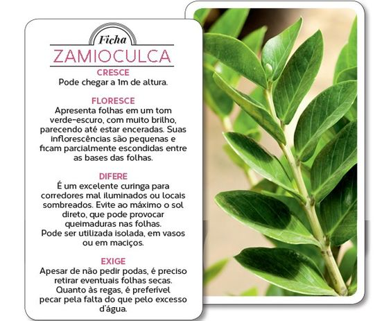 Zamioculca: planta para dentro de casa