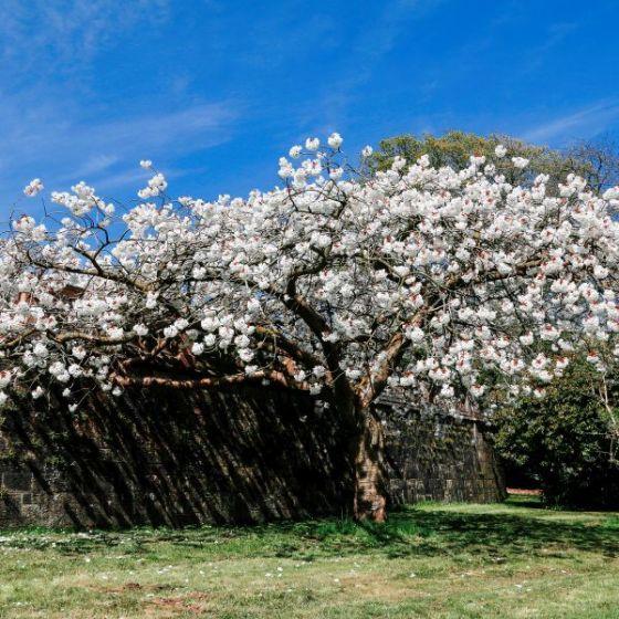 Mount Fuji Japanese Flowering Cherry Japanese Flowering Cherry Japanese Garden Plants Mount Fuji