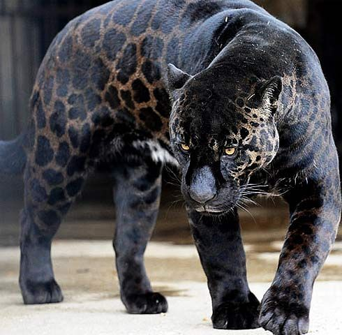 Jaguar. Most jaguars are covered in beautiful spots. However, there are a small percent (6%) that are all black (but sometimes they may still have visible spots) and are known as black panthers.