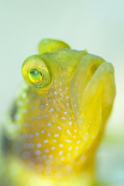 Yellow cool fish and aquarium on pinterest for Saltwater goby fish