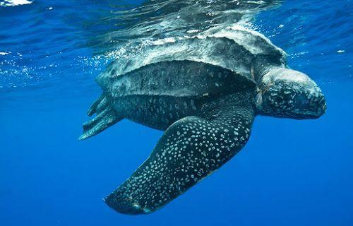 Tartaruga de couro, a maior tartaruga do mundo