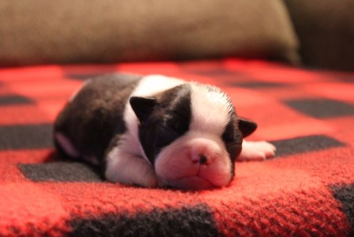 Litter Of 7 Boston Terrier Puppies For Sale In Wichita Ks Adn