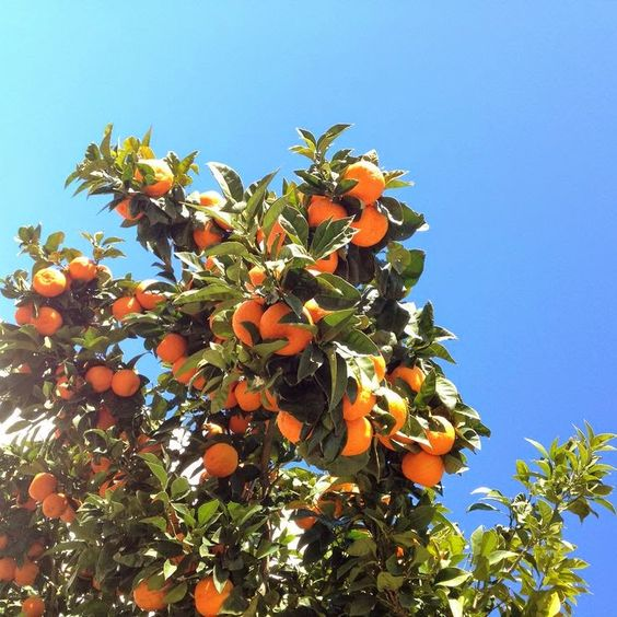 Growing Citrus Trees in Any Climate: 10 Tips on Craftsy.....