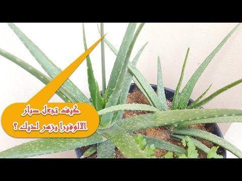 كيف تجعل صبار الالوفيرا يزهر لديك تابع الفيديو Youtube Plants