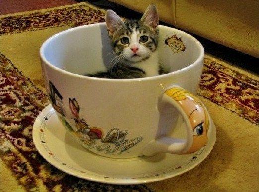 Should You Really Buy Teacup Cats Here Is The Untold Story