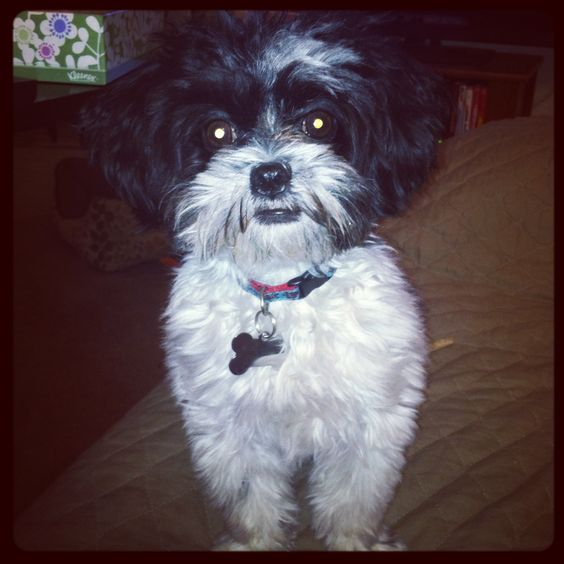 miniature shih tzu full grown full grown shih poo cloud jedi pinterest shih poo 5677