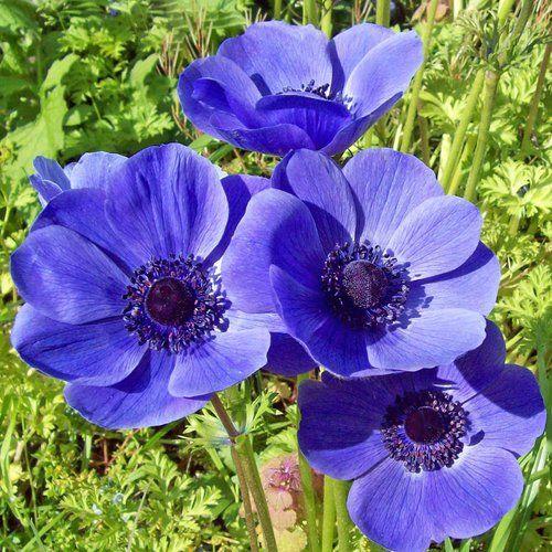 Anemone Coronaria Blue Flowered From Plantlust Com Anemone Flower Bulb Flowers Fall Plants