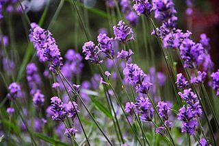 I adore the scent of Lavender