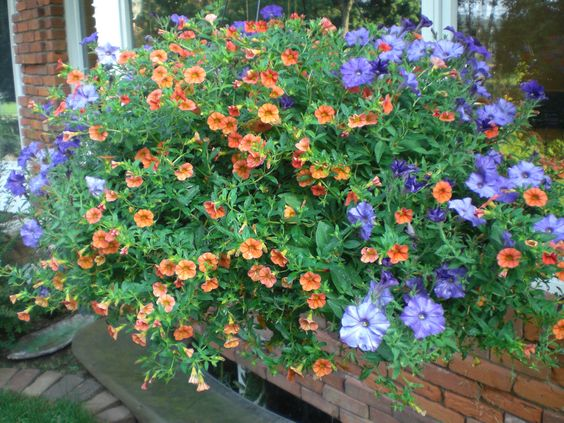 """A basket combo that I planted and loved.   It is in an 18 to 20"""" basket with Blue Wave Petunias and Orange Calibrachoa also called Million Bells or Superbells, they are like a mini petunia and come in many, many colors."""