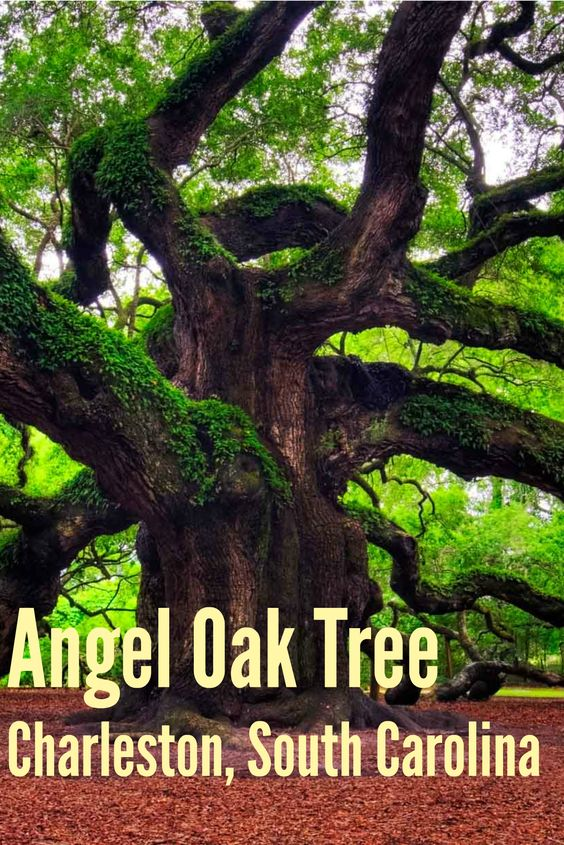 The Magnificent Angel Oak Tree in Charleston, South Carolina: