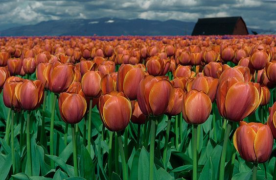 Tulips to the horizon, in Mt. Vernon, Washington.  One of the most beautiful sights I've ever seen