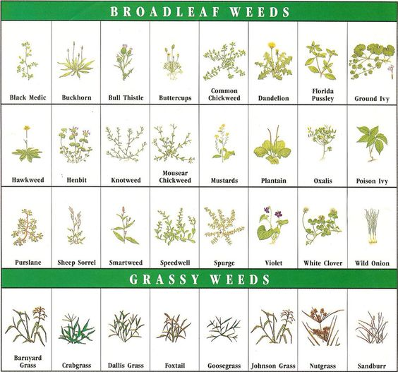 Pictures of Common Types of Weeds - The Spruce