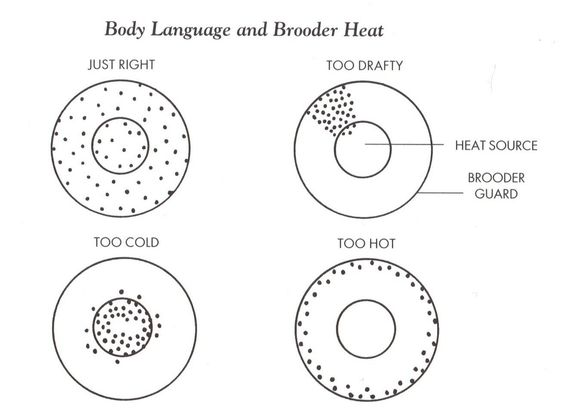 This Diagram Illustrates How To Tell If Your Brooder Is Too Hot Or Cold The Inner Circle