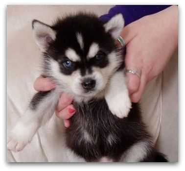 Pomsky For Sale Pricing Factors Don T Get Ripped Off Pomsky Puppies For Sale Pomsky Puppies Pomsky Dog