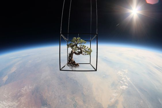 azuma makoto sends 50 year old bonzai tree into space for exobiotanica project - designboom | architecture