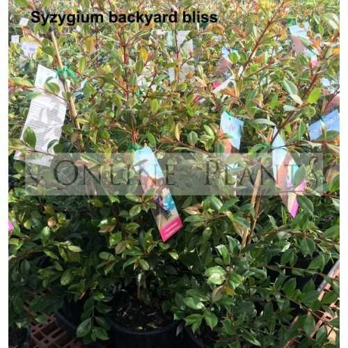 Backyard Bliss Lilly Pilly Melbourne - House of Things ...