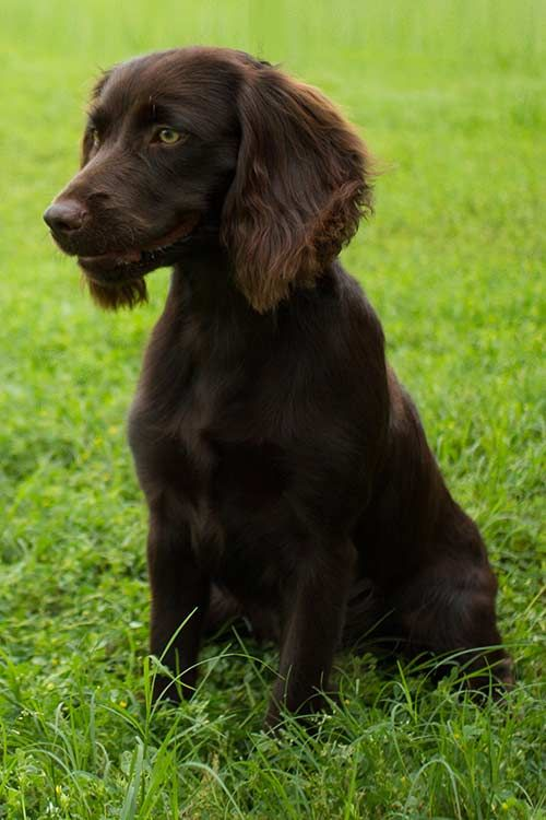 Boykin Spaniel Dog Breed Information Spaniel Breeds Spaniel Dog Boykin Spaniel Puppies