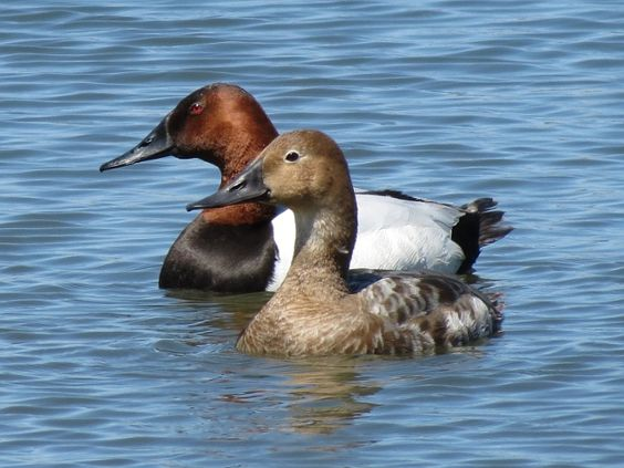 Canvasback Ducks, male & female: