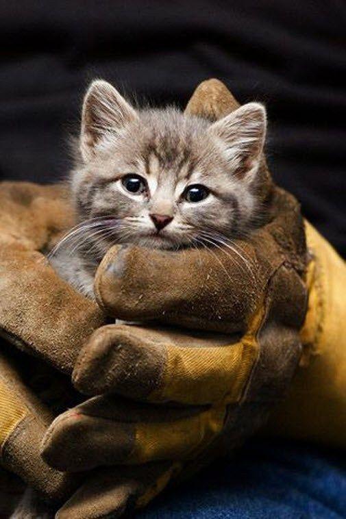 kitten in fireman's gloves