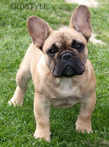 """French Bulldog - I will get one of these someday. His name will be """"Crescent"""""""