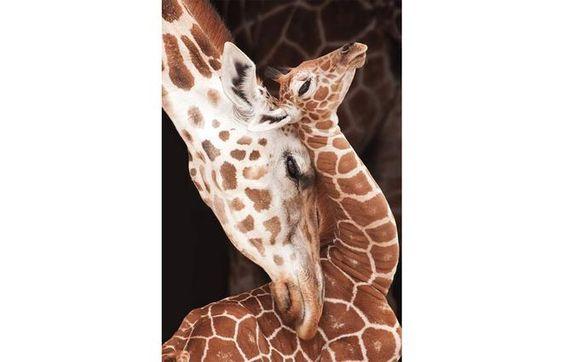 Baby giraffe: Baby Giraffes, Photo