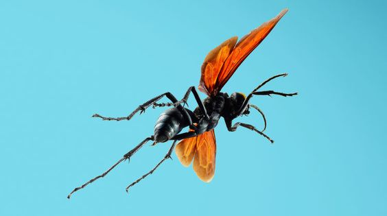 Absurd Creatures | The Horrifying Sting of the Tarantula Hawk Wasp on thescene.com