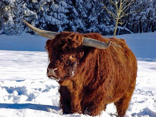 hughhighlander:  snow cow. highland coo via allgauer hochlandrinder zucht. hugh highlander, highland cow