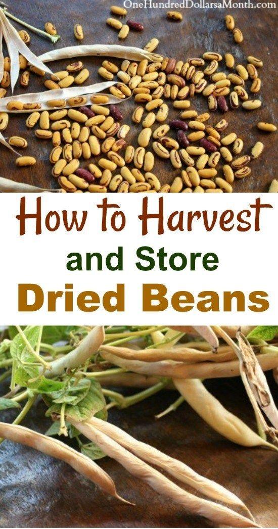 Burpees Stringless Green Pod Bean Seeds And Plants Vegetable Gardening At Burpee Com Bean Seeds Green Bean Seeds Beans Vegetable