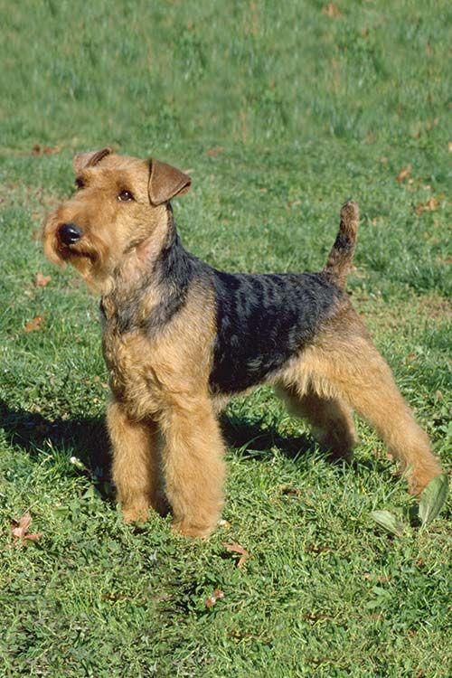 Welsh Terrier Dog Breed Information Welsh Terrier Terrier Breeds Terrier Dog Breeds