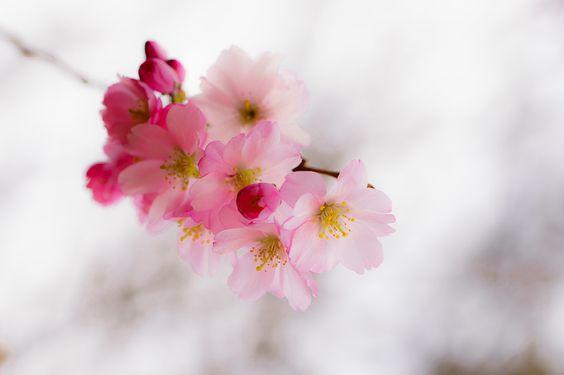 Kirschblütenzauber im Frühling