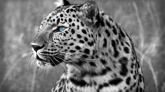 katzen leopard schnurrhaare schwarze und wei e. Black Bedroom Furniture Sets. Home Design Ideas