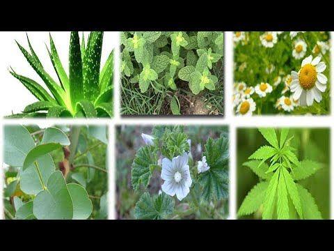 10 Plantas Medicinales Facil De Plantar Que Debes Tener Dentro De Tu Hogar Que Curan Cas Plantas Medicinales Dibujos De Plantas Medicinales Plantas De Exterior