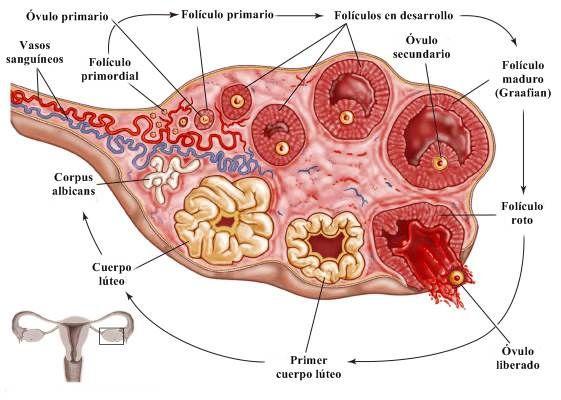 Ovulación Aparato Reproductor Femenino Sistema Reproductor Sistema Reproductor Femenino