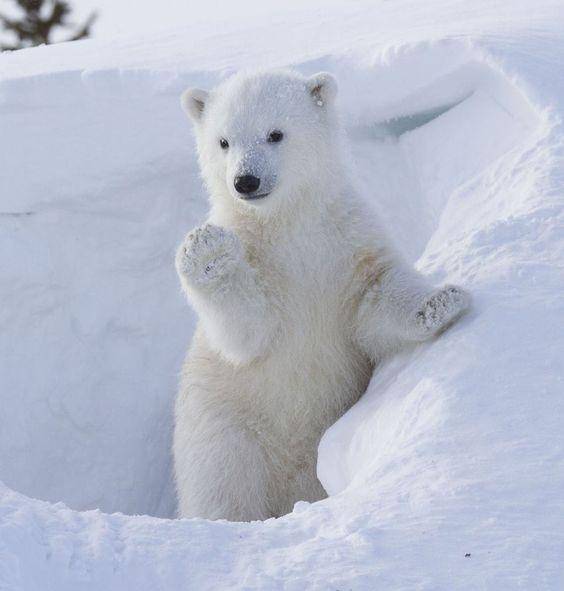 Un bébé ours polaire très adorable au Canada_French.news.cn