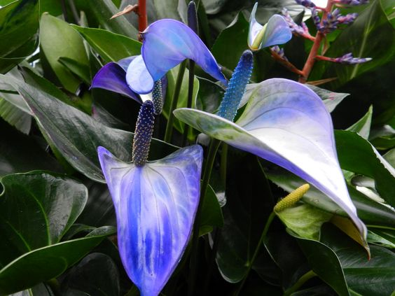 blue anthurium -  never saw one in person but its certainly pretty