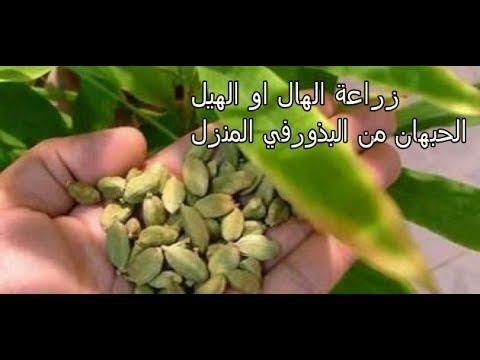 زراعة الهيل أو الحبهان من البذور موجودة في كل منزل Youtube Plants Garden Vegetables