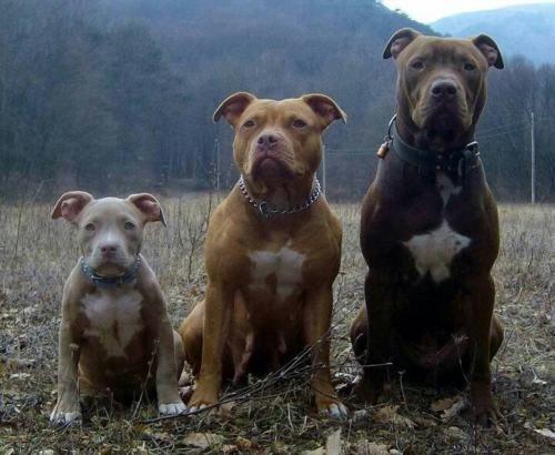 Pit Bulls Tumblr Pitbull Pitbull Terrier Cute Animals Dog Love