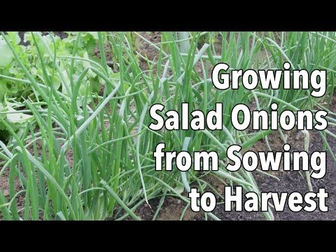 How To Get Rid Of Green Onions In Yard