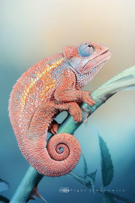 pink chameleon:
