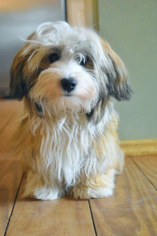 Havaneser Rasseportrait Havaneser Havaneser Hund Hundebilder