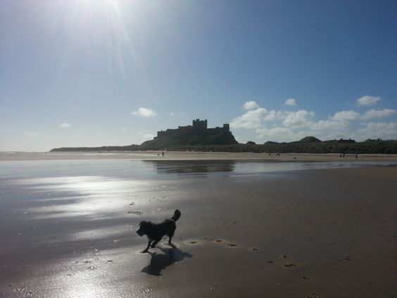 Dogs are welcome to play in the sand dunes at Bamburgh Beach! Stay with: Horseshoe cottage