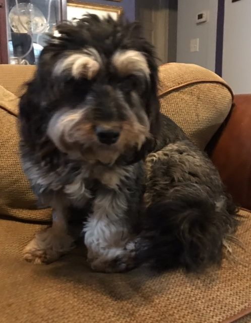Dog For Adoption Bernice A Schnauzer Shih Tzu Mix In Memphis Tn Petfinder Dog Adoption Adoption Help Homeless Pets