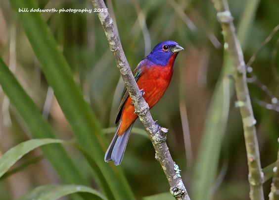 Painted Bunting by Bill Dodsworth on 500px