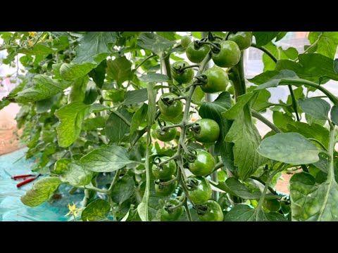 ボード トマト のピン