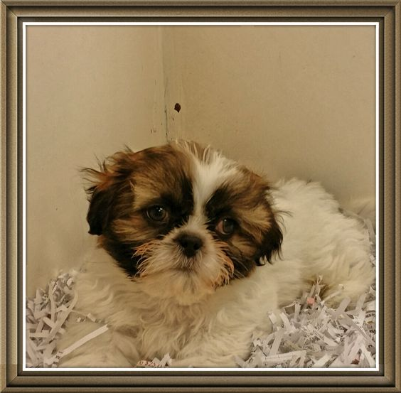 Northwest Seed & Pet has a male Shih-Tzu Puppy available at our East Sprague Store. He was born April 24th, 2015, and has had his first shots, been dewormed, and comes with a free vet exam.  http://nwseed.com/?p=15262