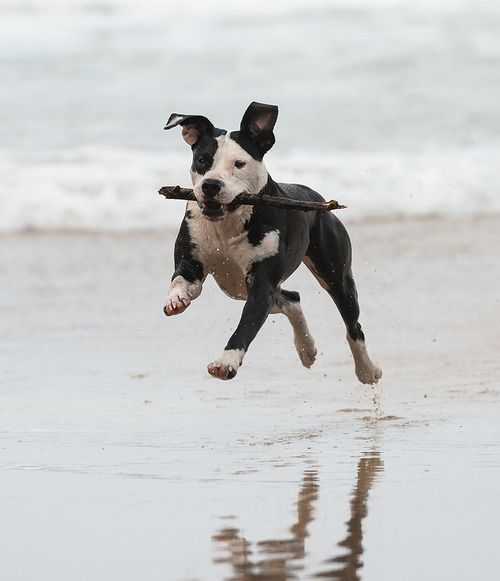"""This photo is of a Pitbull dog playing """"fetch"""" on the beach. Super active and energetic dog. More pictures to come from this ses..."""