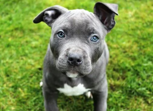 Trending Blue Nose Pitbull Puppies Complete Guide Daily Blue Nose Pitbull Dog Breed Information And Ow In 2020 Pitbull Dog Breed Pitbull Dog Blue Nose Pitbull Puppies