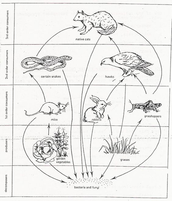 Sample Food Web Quoll Coloring Pages Animals 15 Print Coloring Pages Coloring Pages Wristband Template Budget Template