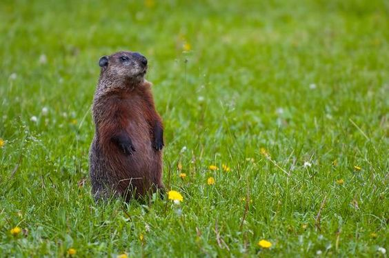 When not feeding or burrowing, groundhogs will stand erect and be on the lookout; when sensing danger, they emit a high-pitched squeaky whistle.