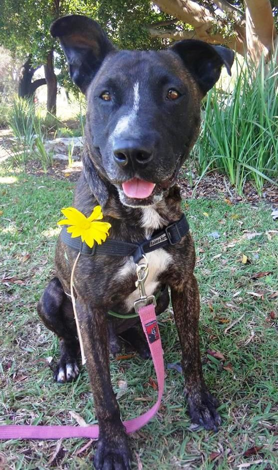 Kalvin 1 8 Year Old Male Staffy Mix Rip 25 1 2019 Dogs 8